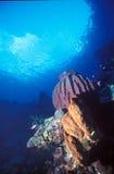 Esponja roxa do tambor - Papuásia-Nova Guiné Fotos de Stock Royalty Free