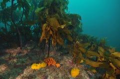 Esponjas coloridas entre a alga Foto de Stock Royalty Free