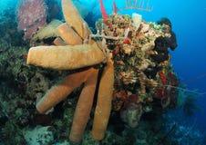 Esponjas da câmara de ar no recife coral Fotografia de Stock