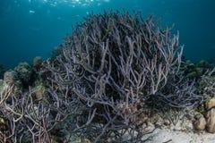 Esponjas de la cuerda en Coral Reef pacífica Fotografía de archivo libre de regalías