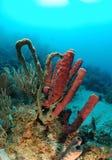 Esponjas del tubo en el filón coralino Imágenes de archivo libres de regalías