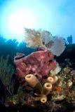 Esponjas e ventilador de mar Foto de Stock
