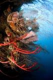 Esponjas y ventiladores de mar Fotos de archivo