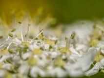 ¿Espora o insecto macra de la flor del perejil de vaca? Imagen de archivo