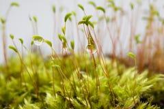 Esporas del musgo con las gotitas de agua Imagen de archivo libre de regalías