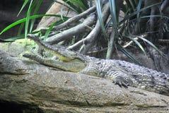 Esporre al sole alligatore Fotografie Stock Libere da Diritti