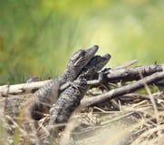Esporre al sole degli alligatori del bambino Immagini Stock