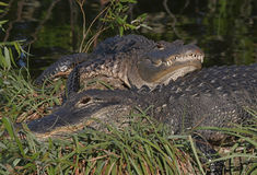 Esporre al sole dei coccodrilli americani Fotografie Stock