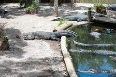 Esporre al sole dell'alligatore Immagine Stock Libera da Diritti