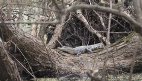 Esporre al sole dell'alligatore americano Immagine Stock