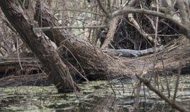 Esporre al sole dell'alligatore americano Fotografia Stock Libera da Diritti