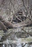 Esporre al sole dell'alligatore americano Immagini Stock