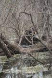 Esporre al sole dell'alligatore americano Fotografie Stock