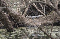 Esporre al sole dell'alligatore americano Fotografia Stock