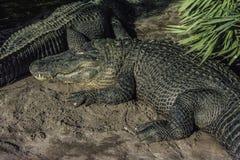 Esporre al sole di due alligatori Immagini Stock