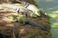 Esporre al sole gli alligatori Fotografia Stock