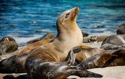 Esporre al sole leone marino Immagini Stock