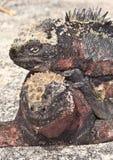 Esporre al sole marino delle due iguane Immagine Stock