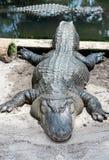 Esporre al sole pigro dell'alligatore Fotografie Stock