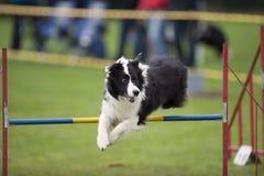Esporte da agilidade Foto de Stock Royalty Free