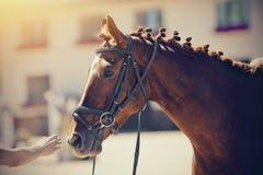 Esporte equestre Iin do garanhão dos esportes do retrato o freio imagem de stock