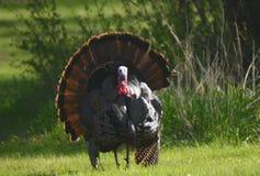Esposizione accoppiamento del Gobbler della Turchia Fotografie Stock