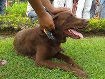 Esposizione canina aspettante di Brown labrador retriever Fotografie Stock