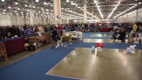 Esposizione canina internazionale CACIB-FCI stock footage