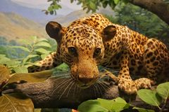 Esposizione del ghepardo nel museo di The Field Immagini Stock Libere da Diritti