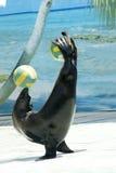 Esposizione del leone di mare Fotografie Stock Libere da Diritti