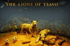 Esposizione del leone nel museo di The Field Fotografia Stock