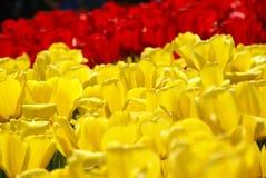 Esposizione del tulipano fotografia stock