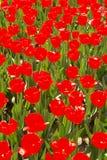 Esposizione del tulipano fotografia stock libera da diritti