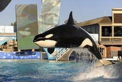 Esposizione dell'orca immagini stock libere da diritti
