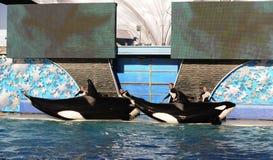 Esposizione dell'orca fotografie stock