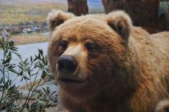 Esposizione dell'orso nel museo di The Field Fotografia Stock