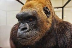 Esposizione della gorilla nel museo di The Field Immagini Stock