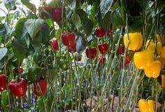Esposizione della pianta del peperone dolce, del peperone dolce o del capsico nel fest dell'alimento Fotografie Stock Libere da Diritti