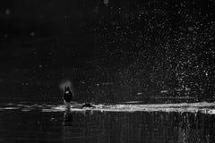 Esposizione di adulazione del maschio della bucephala nelle prime ore del mattino Fotografia Stock Libera da Diritti