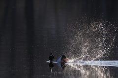 Esposizione di adulazione del maschio della bucephala nelle prime ore del mattino Fotografie Stock