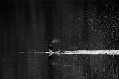 Esposizione di adulazione del maschio della bucephala nelle prime ore del mattino Immagini Stock Libere da Diritti