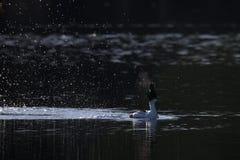 Esposizione di adulazione del maschio della bucephala nelle prime ore del mattino Fotografia Stock
