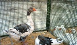 Esposizione di Gooses Immagine di colore Immagine Stock