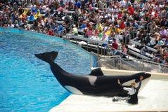 Esposizione di shamu della balena di assassino nel seaworld San Diego Fotografie Stock