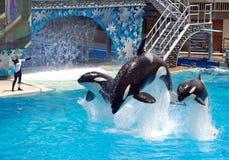 Esposizione di shamu della balena di assassino nel seaworld San Diego Immagini Stock