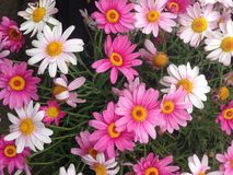 Esposizione variopinta dei fiori della margherita di pratolina del capo Fotografie Stock