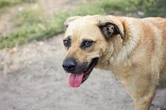 Esposizioni canine domestiche lingua, luce fotografia stock libera da diritti