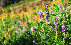 Esposizioni nelle montagne di Wallowa, Oregon, U.S.A. del Wildflower Fotografia Stock Libera da Diritti
