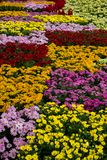 Esposizioni variopinte del fiore alla galleria di Dasada, Prachinburi, Tailandia fotografie stock