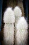Espostoa kaktusy Fotografia Stock